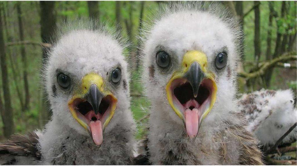Polessye Devlet Radyoekolojik Koruma Alanı'ndan büyük orman kartalı yavruları