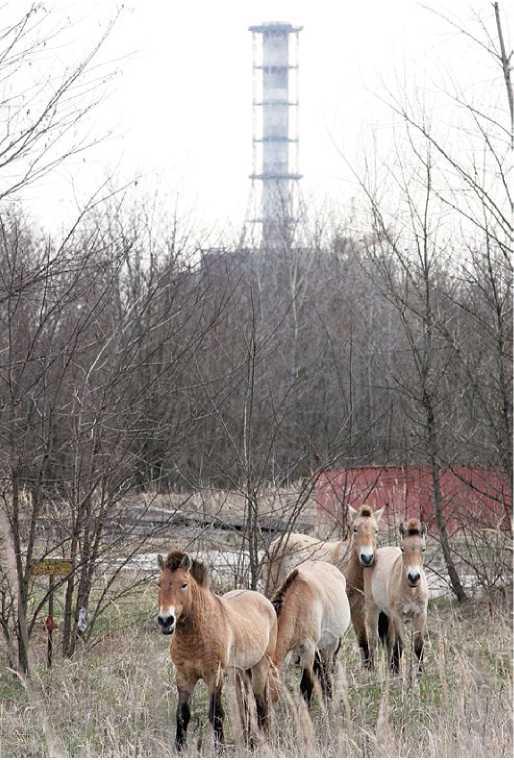 Soyu tehlike altındaki Przewalski yaban atlarından 30 kadarı 1990'lı yıllarda Çernobil Yasak Bölgesi'ne bırakılmıştı. Bu gün atların bölgede hayatta kalmayı ve çoğalmayı başardığı gözleniyor.